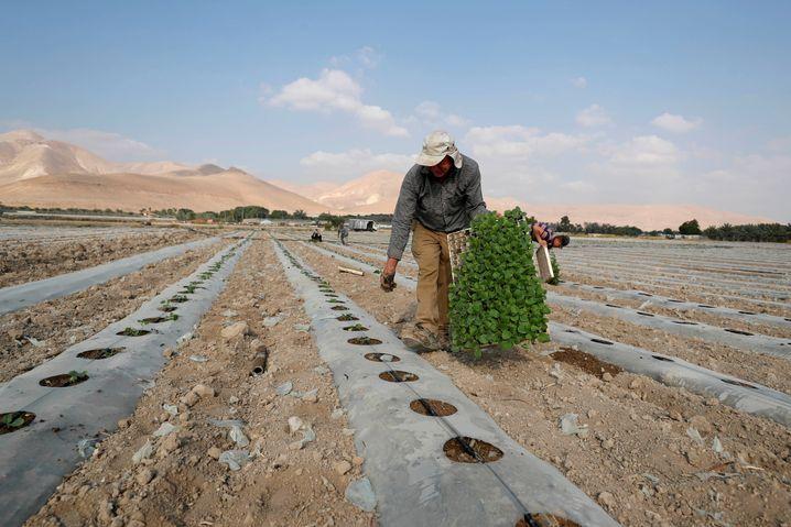 Palästinensischer Bauer im Jordantal: Die Bewegungsfreiheit endet an der Dorfgrenze