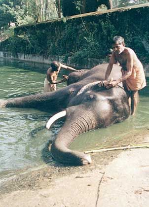 Tempelelephanten nahe Thrissur genießen das tägliche Bad. 63 Dickhäuter leben hier im Punnatur Kota zusammen