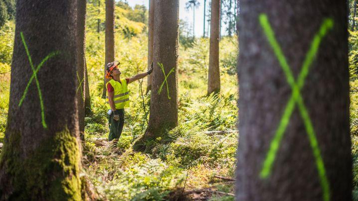 Borkenkäfer: Gefahr für den Wald