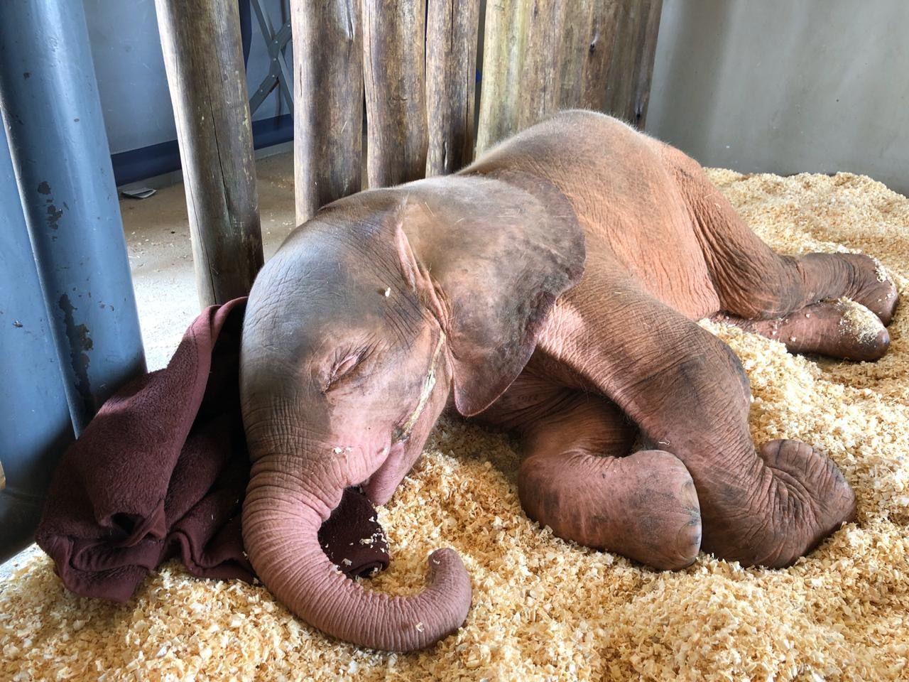 Seltener Albino-Elefant gerettet