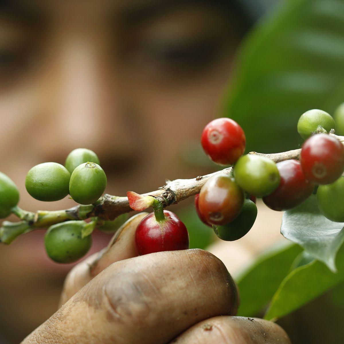Grüner Kaffee zum Abnehmen in Kolumbien