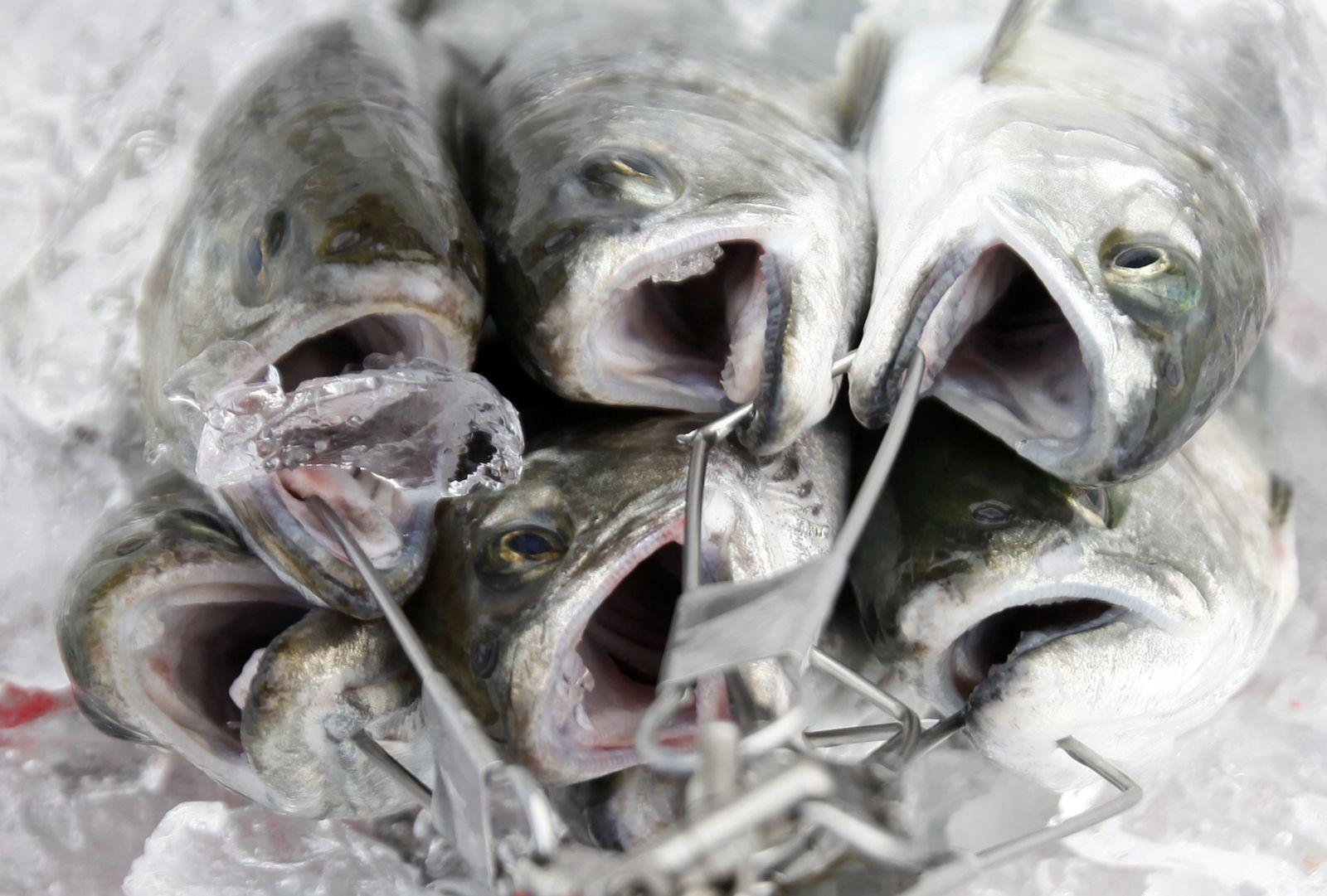 Fisch / Forelle