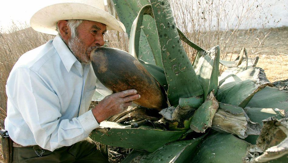 Ein Plantagenarbeiter gewinnt den Saft der Agave: Süß, aber besser als Haushaltszucker?