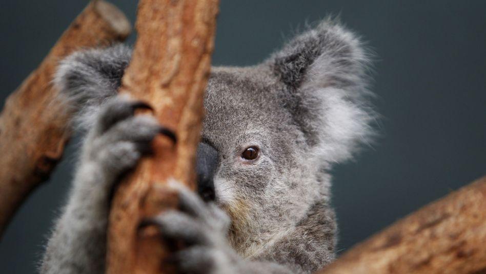 Koala: In einigen Regionen Australiens werden die Beuteltiere unter Schutz gestellt