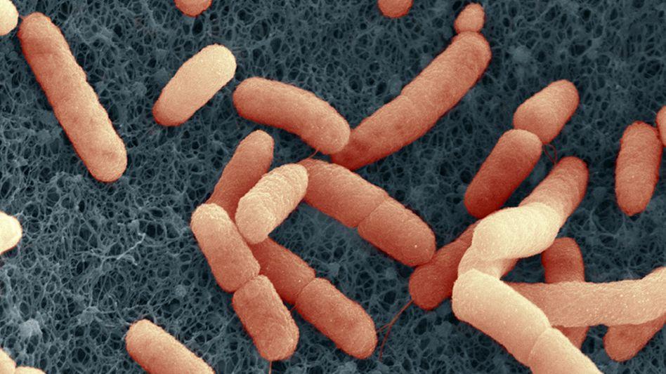 Ehec-Bakterien unterm Rasterelektronenmikroskop: Weitere Analysen nötig