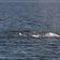 Wal schwimmt mehr als 20.000 Kilometer