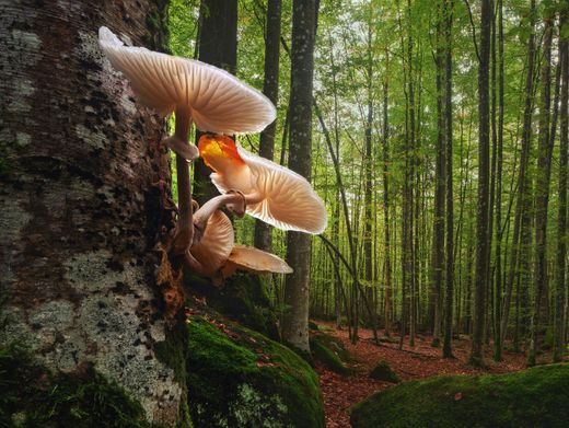 Buchenschleimrübling im Buchenwald: Zeichen für einen naturbelassenen Wald