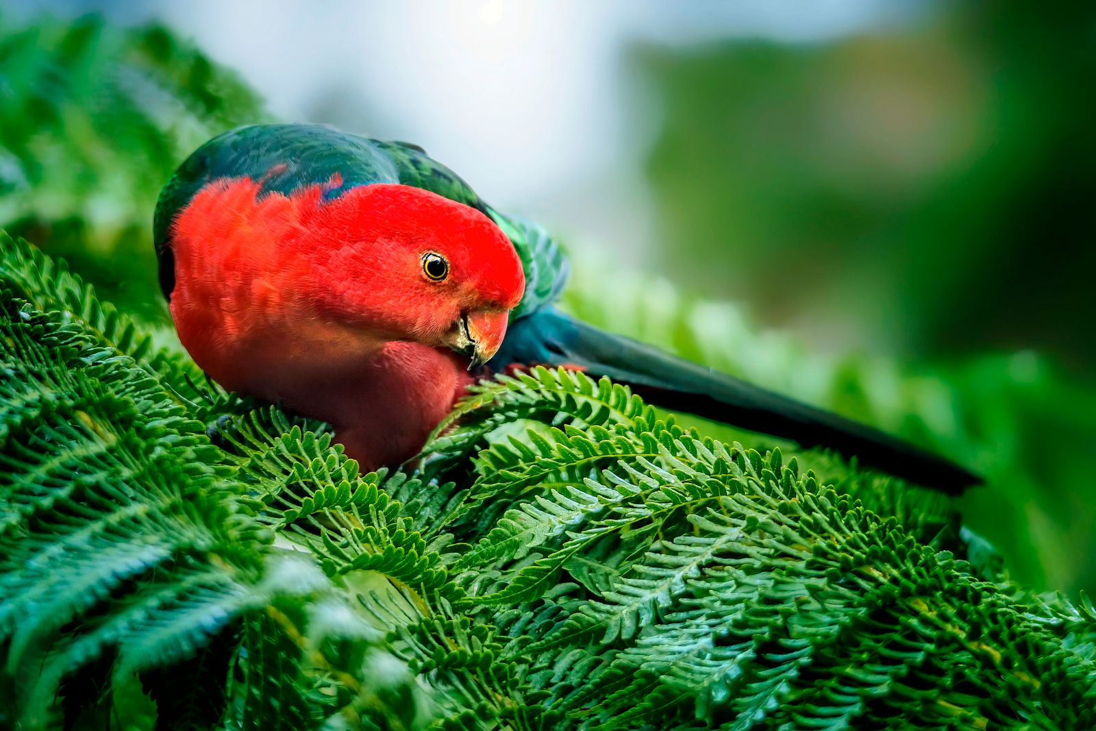 King Parrot in the rainforest