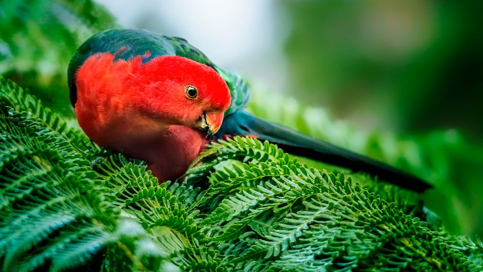 Der Schnabel des Australischen Königssittichs wird nachweislich immer größer