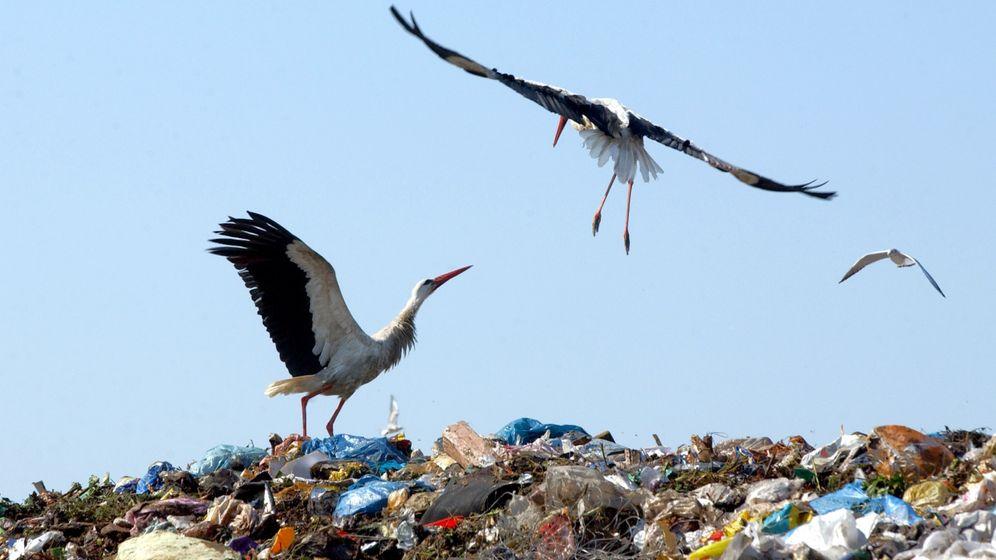 Störche auf der Müllkippe: Zugvögel sparen Energie