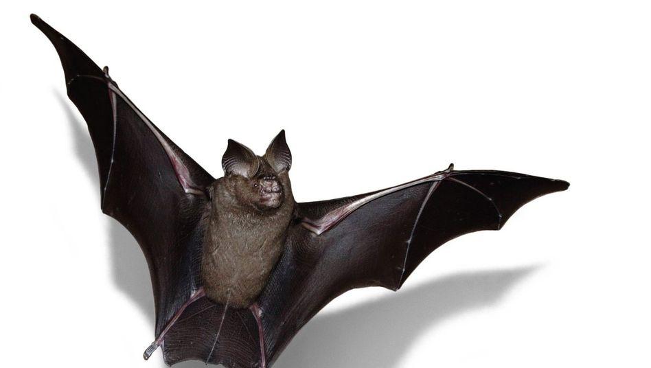 Mindestens 3200 Coronaviren sind bei Fledermäusen und Flughunden identifiziert worden