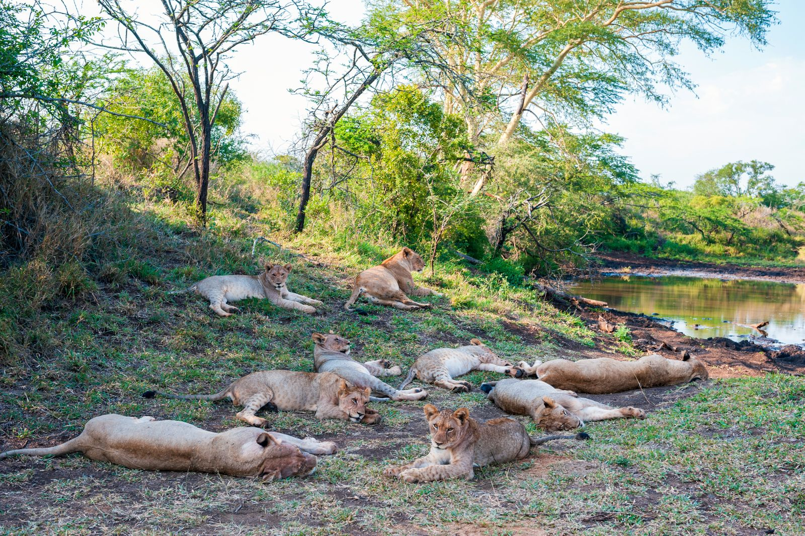 A pride of lions at Thanda Safari Lodge, a 14 000-hectare
