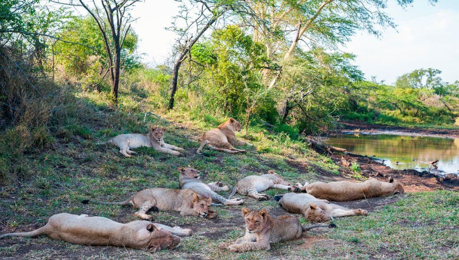 Löwenrudel in Südafrika (Archivbild)