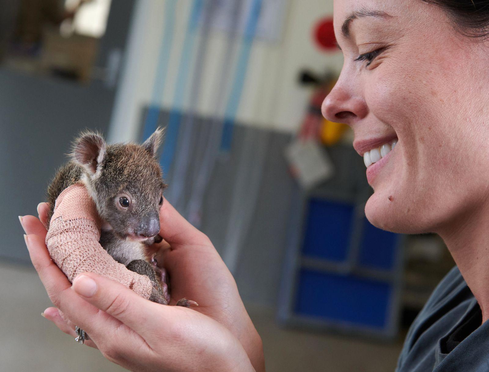 Koalababy bekommt Gips/ Pflegemutter
