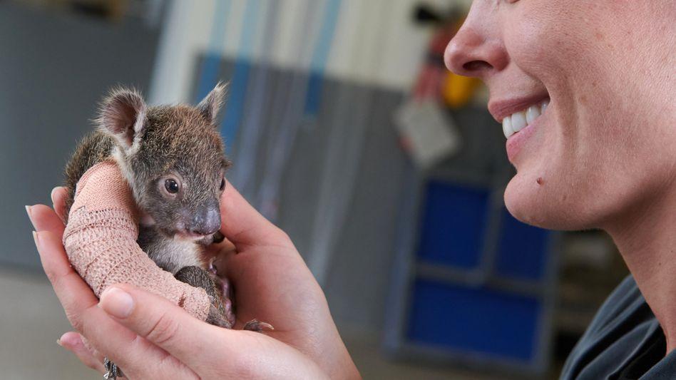 Kleiner Patient: Dieses Koala-Baby überlebte den Sturz von einem Baum