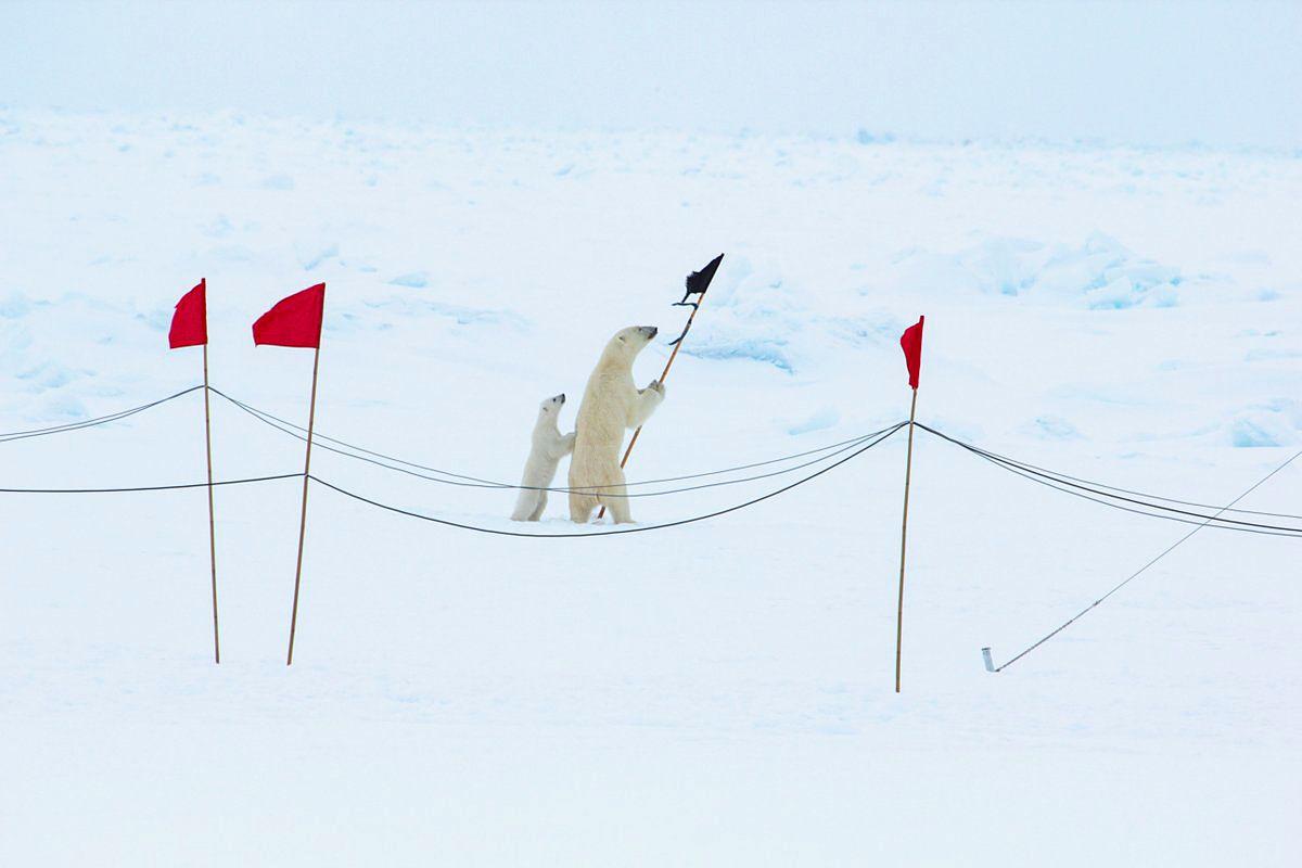EINMALIGE VERWENDUNG Eisbärenfamilie der Polarstern