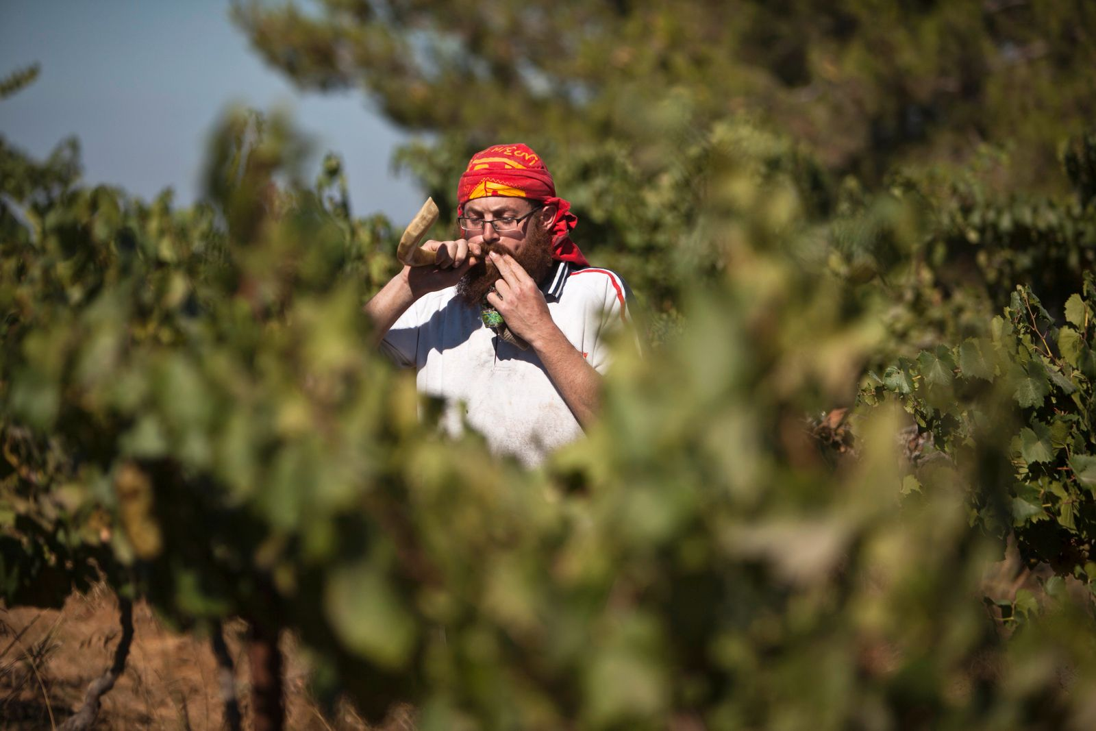 Wine-grower Gershon Ferency blows a shofa during harvest at vineyard south of Bethlehem