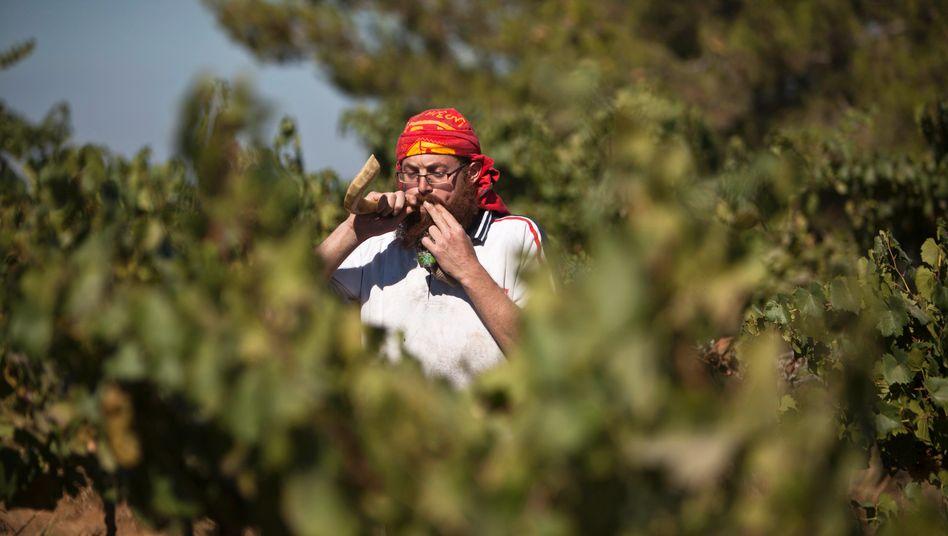 Ein israelischer Weinbauer kurz vor der Ernte des Chardonnay in der israelischen Siedlung Bart Ayin im Westjordanland
