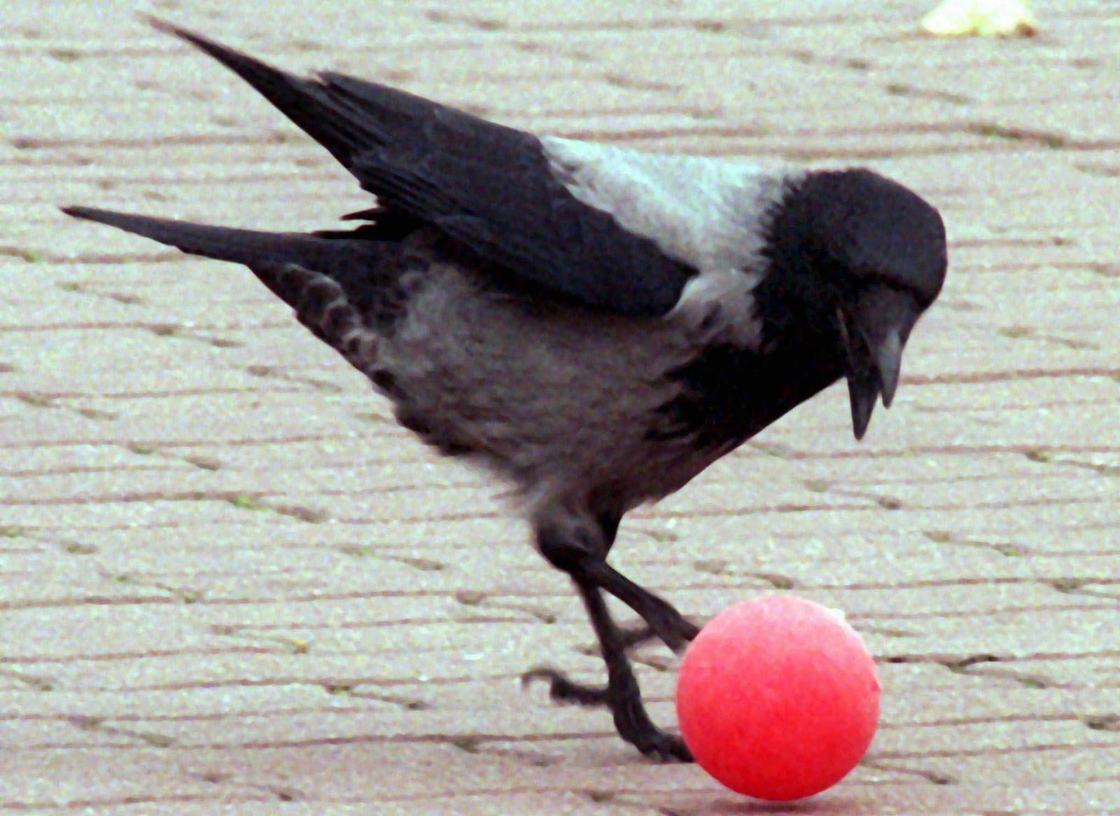 Krähe / Ball