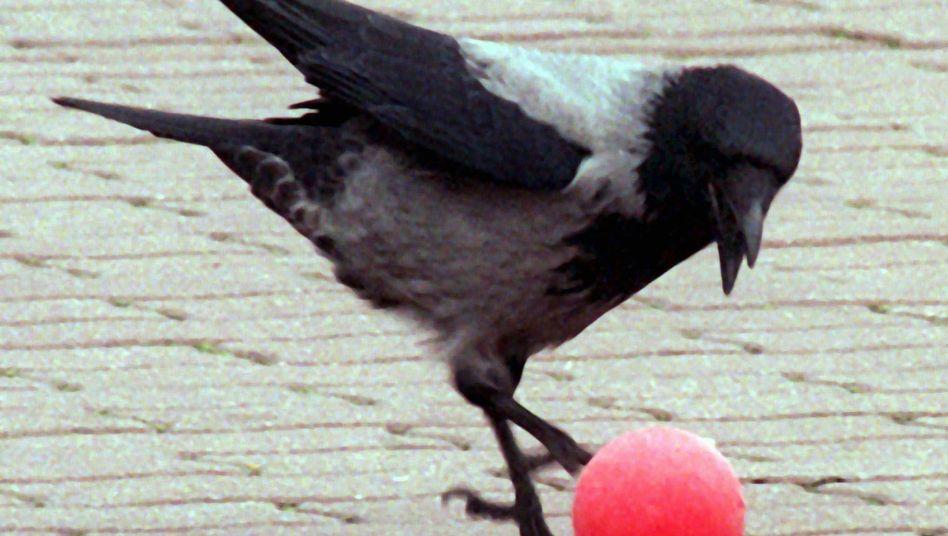Krähe beim Spielen: Vögel besitzen hohes Abstraktionsvermögen