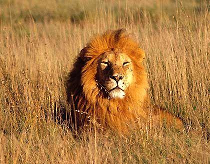 Löwe im Serengeti-Nationalpark: Dunkle Mähnen bevorzugt