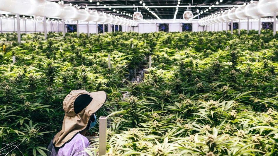 Israel: Cannabisplantage in der Nähe von Haifa