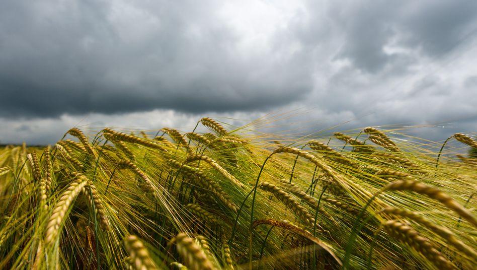 Feld mit Gerste: Immer mehr Menschen klagen über Getreideunverträglichkeiten