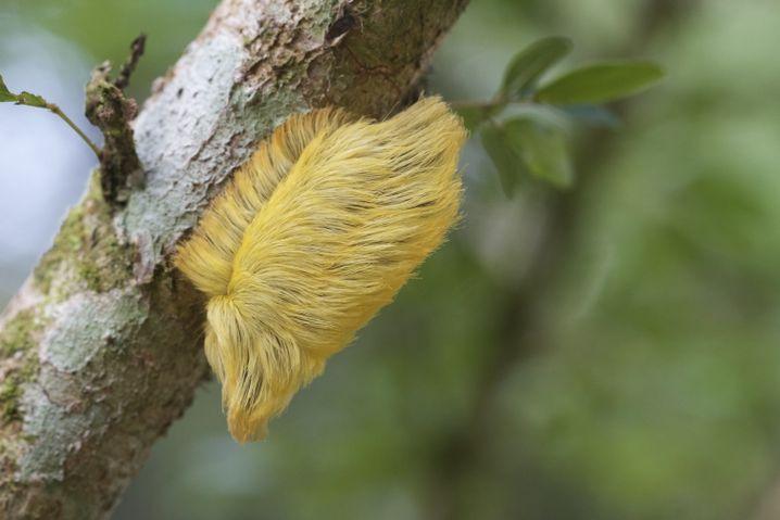 Eine Raupe, die zur Schmetterlingsart der Megalopyge opercularis gehört
