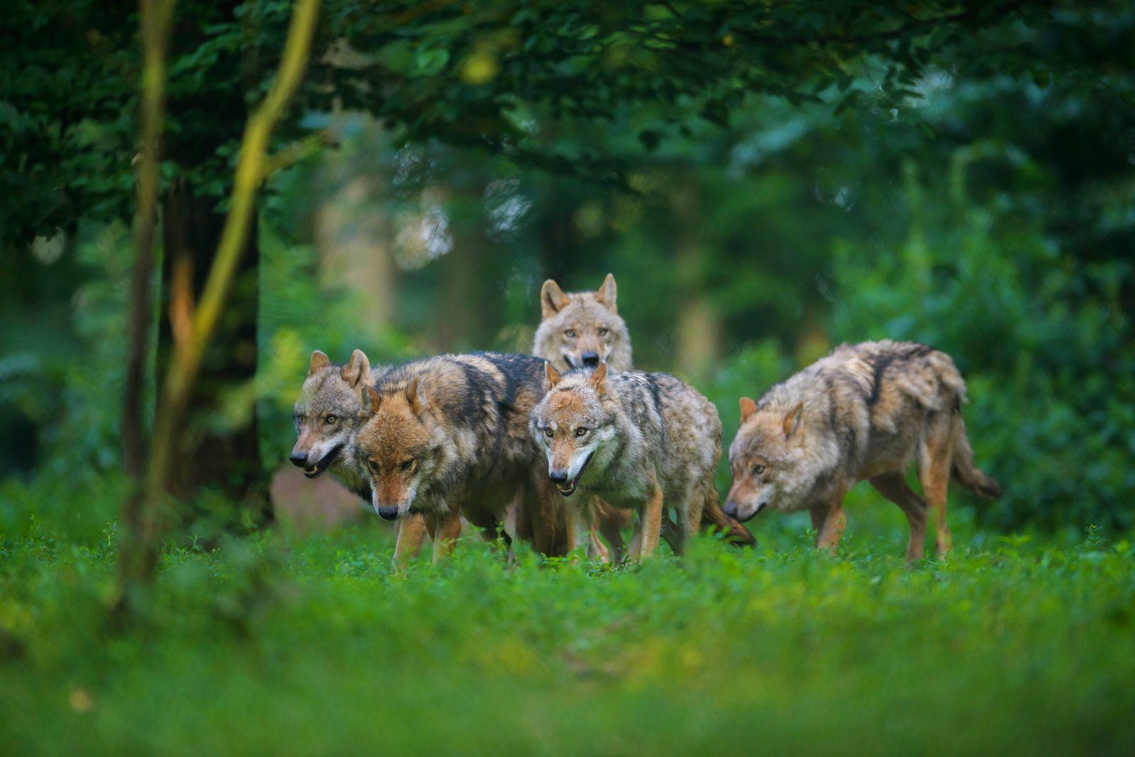 EINMALIGE VERWENDUNG Europaeischer Wolf/ Wölfe