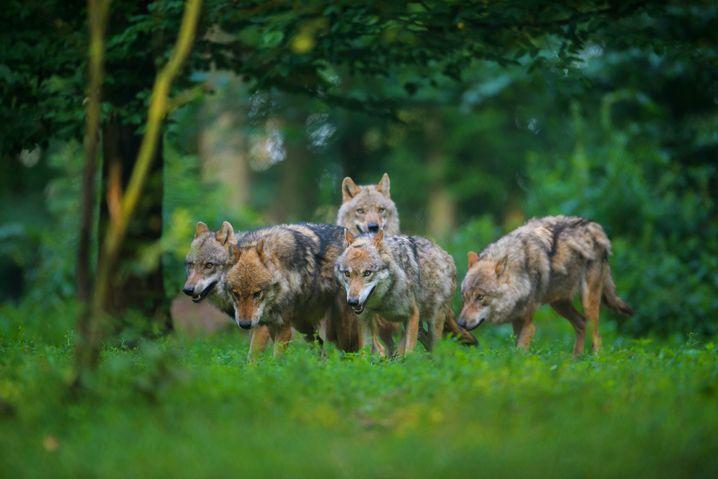 Wolfsrudel in Deutschland