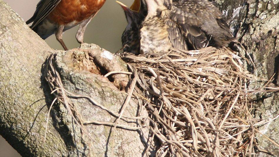 Drossel mit Jungvögeln (Archivbild): Mütter entscheiden über Geschlecht