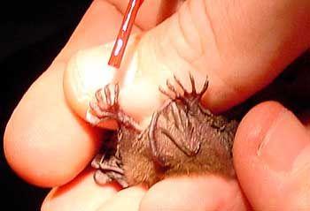 Markierung von Fledermäusen: Nagellack für die Fußkrallen