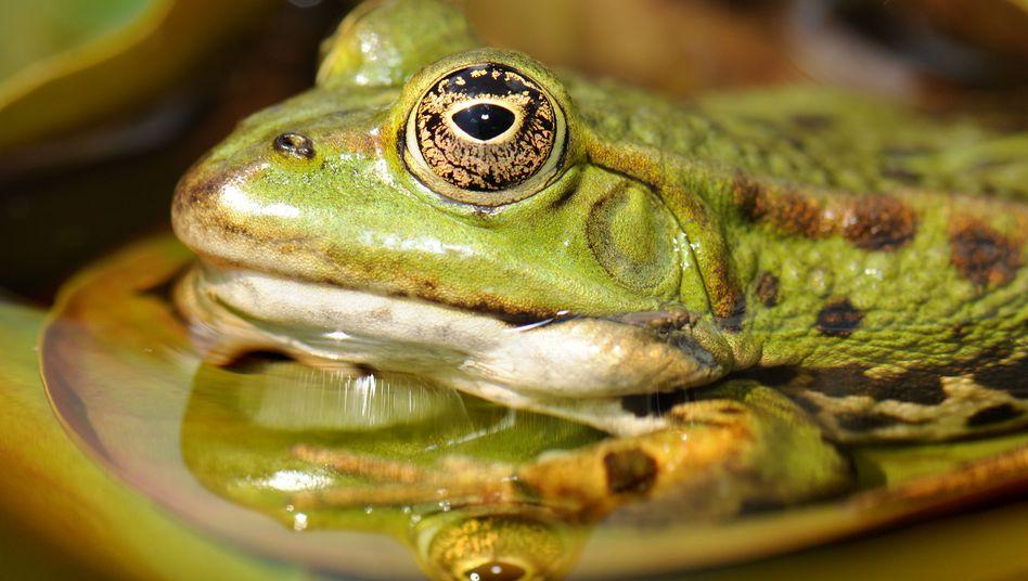 Frosch, auf der Lauer: Gleich kommt die Zunge raus