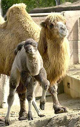 Akut vom Aussterben bedroht: Das baktrische Kamel
