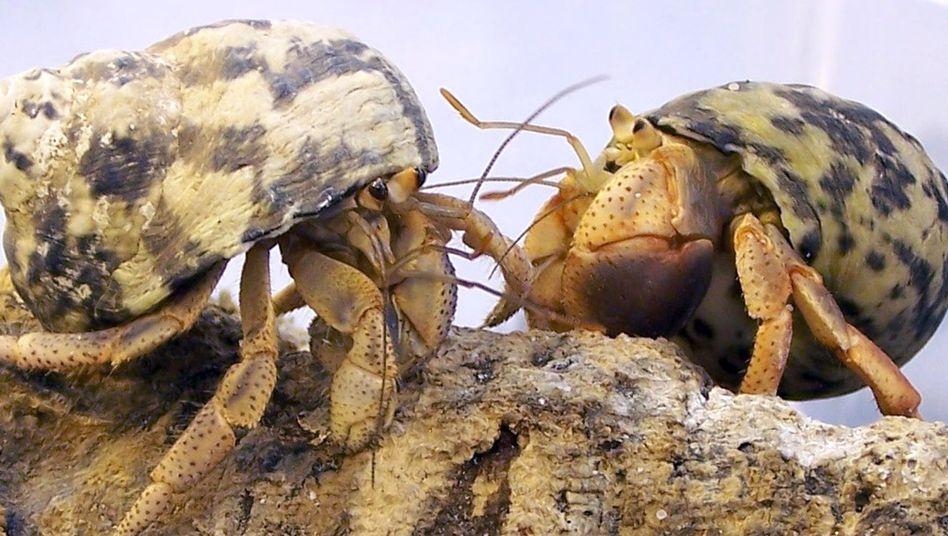 Einsiedlerkrebse: Riechorgane an den Antennen