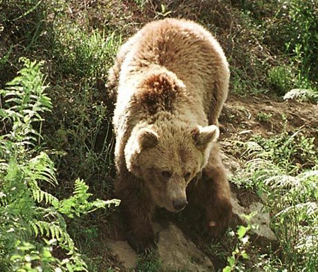 The brown bear is making a come-back in central Europe. They may look cute, but not everyone relishes the prospect of bumping into one of the predators when out walking in the woods.