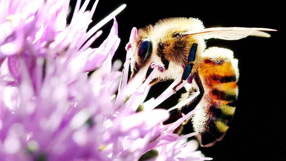 Biene: Auf der Suche nach Blütenstaub