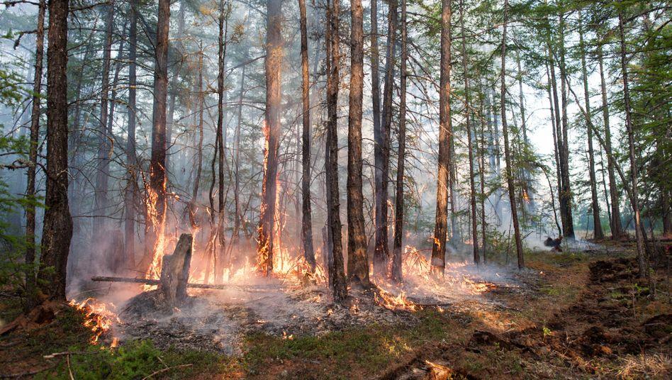Wald in Russland: Es gibt erhebliche Zweifel daran, dass Ozeane und Landbiosphäre weiterhin in bekanntem Maße den Klimawandel dämpfen werden.