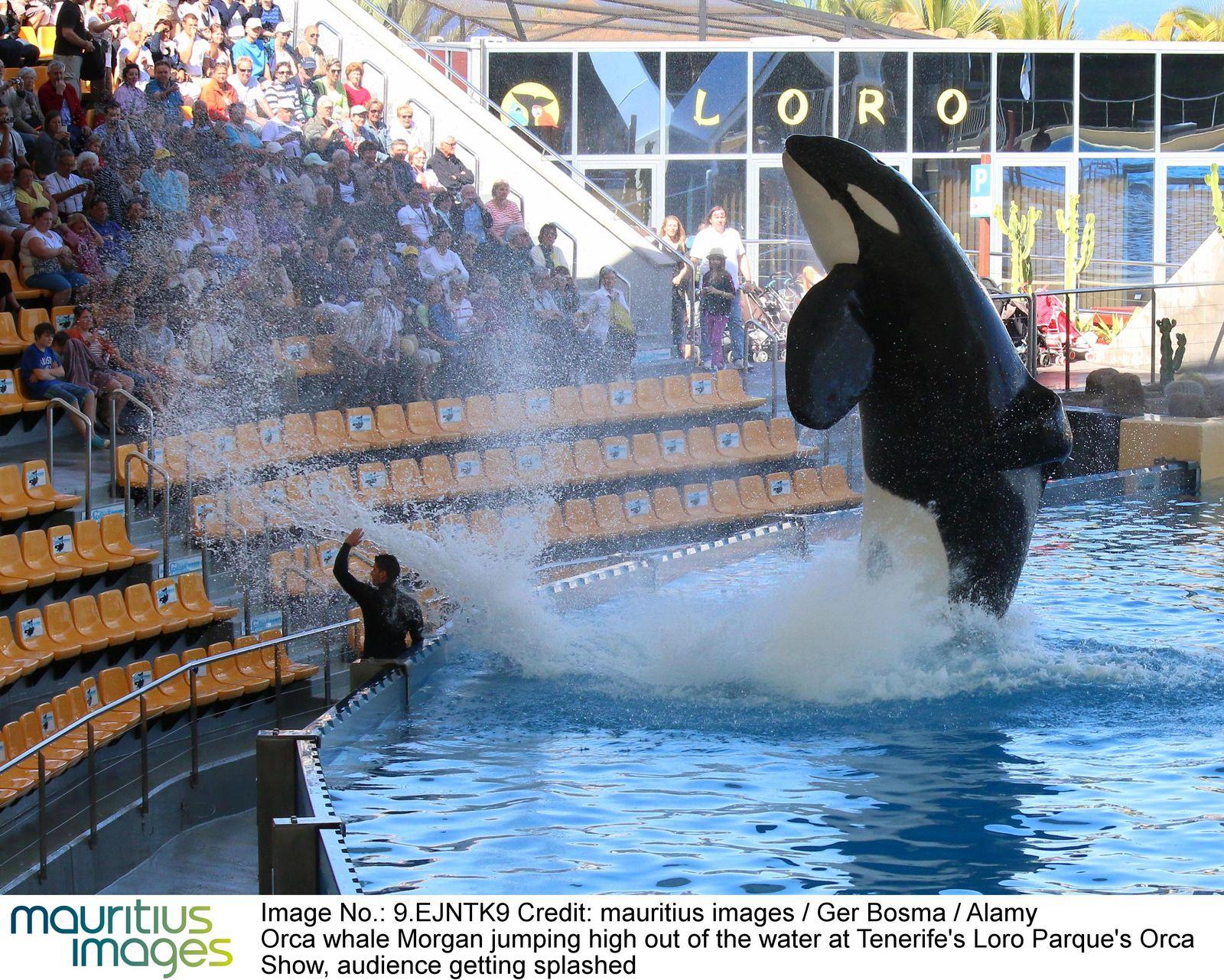 """Startbild :cb:: Orca im Loro Parque auf Teneriffa """"Isolationshaft"""" oder """"Luxusleben""""?"""