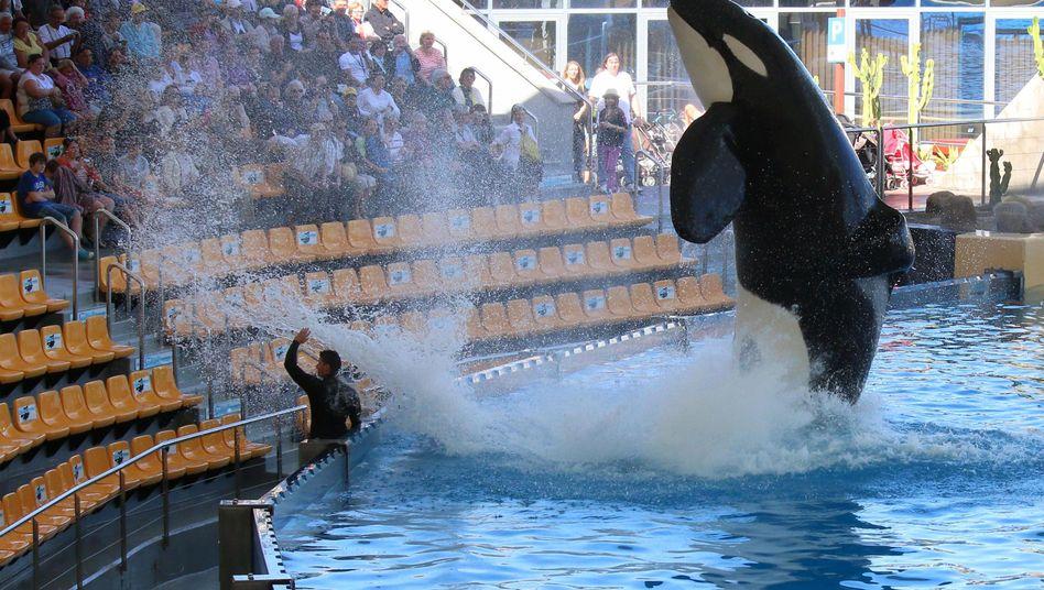 Orca-Show im Loro Parque auf Teneriffa