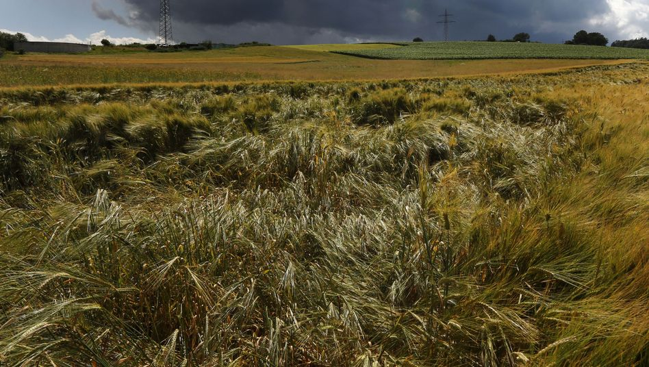 Getreidefeld bei Lauterbach (am 12. Juli): Sonne, Wind und Regen