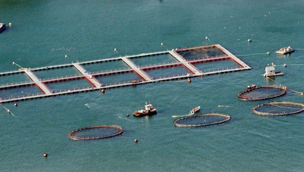 Folgen für das Ökosystem: Lachszucht im Übermaß
