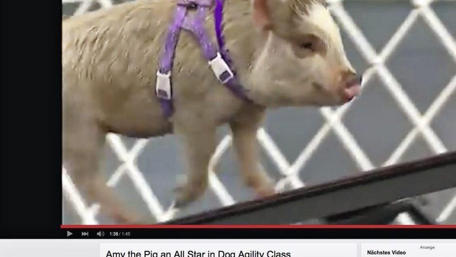 Minischwein Amy auf YouTube