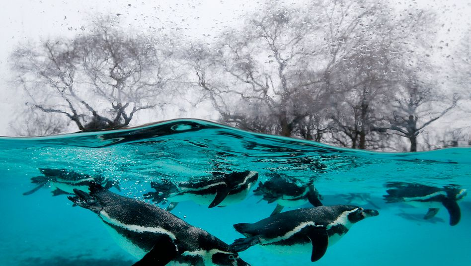 Humboldt-Pinguine in britischem Zoo (Symbolbild)
