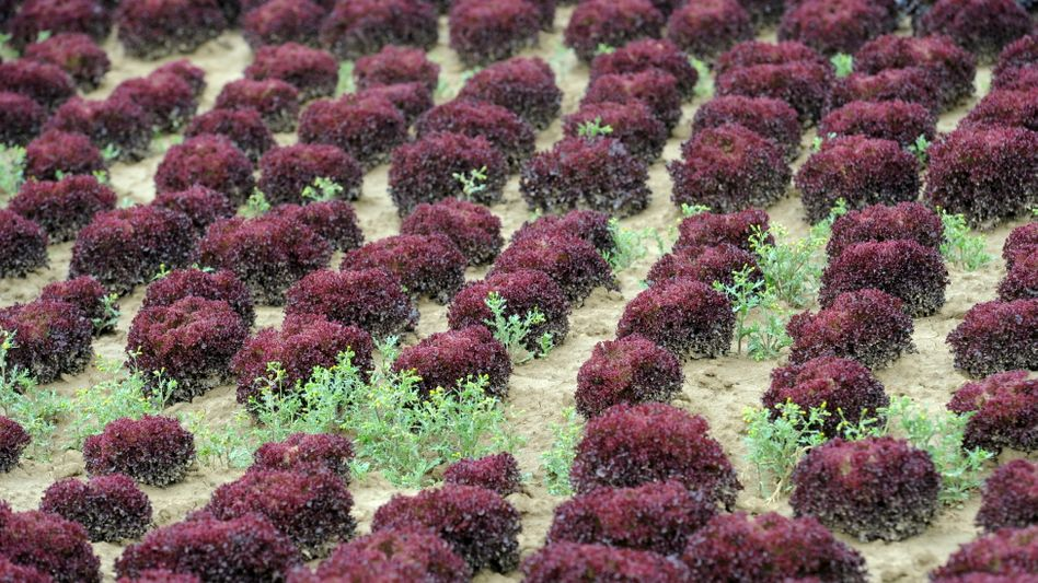 A field with red lettuce of the Lollo Rosso variety.