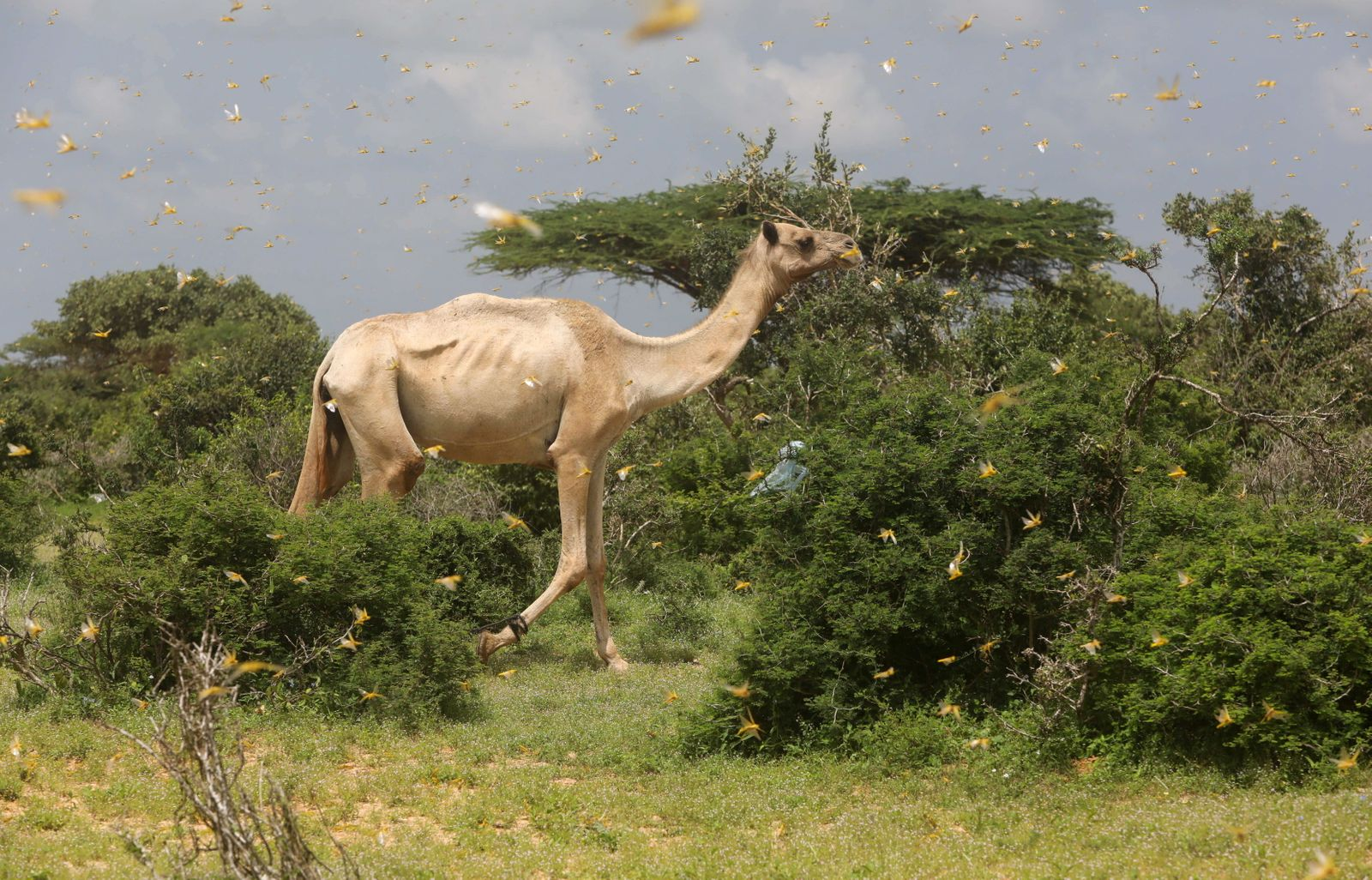 A camel walks through a swarm of desert locusts in a grazing land on the outskirts of Daynile district of Mogadishu