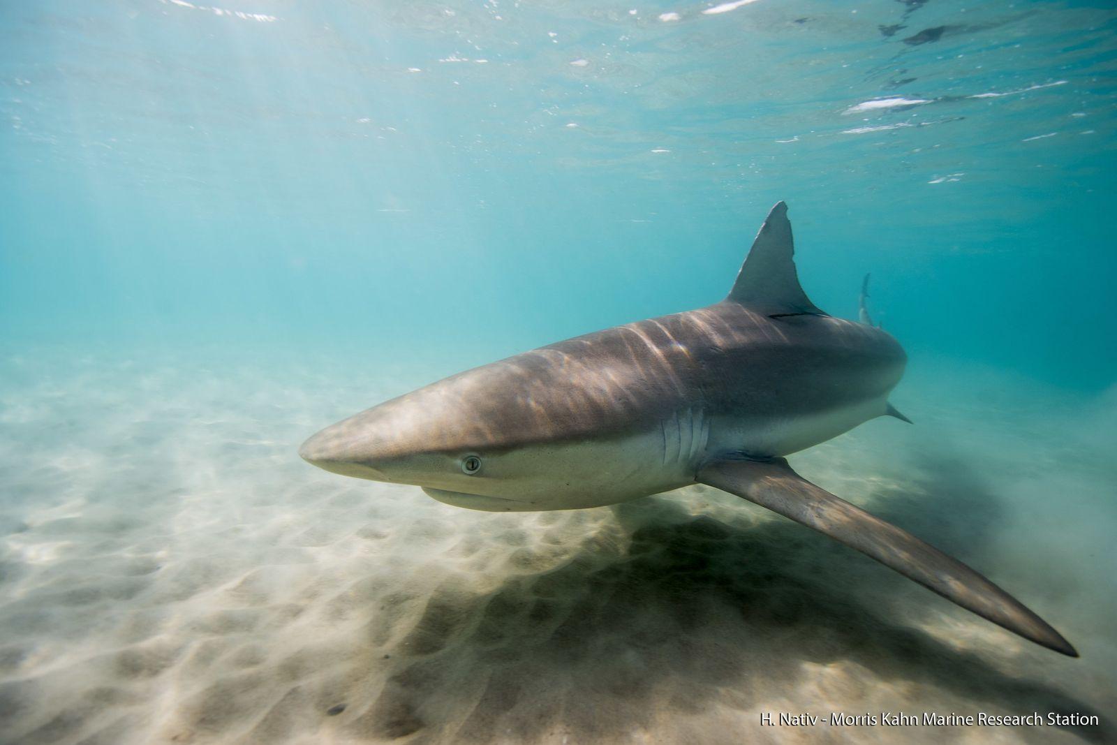 Hai tummeln sich vor Israels Küste