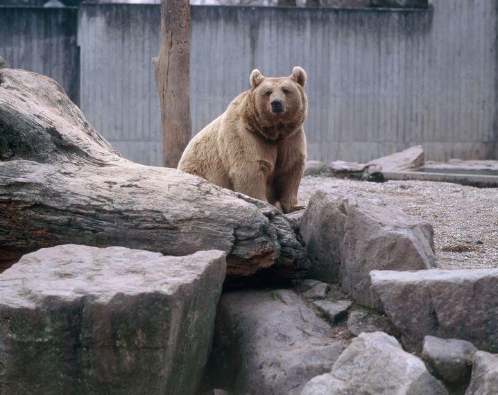 Noch gibt es kein Gesetz, in dem der Platzbedarf eines Braunbären in Gefangenschaft geregelt ist