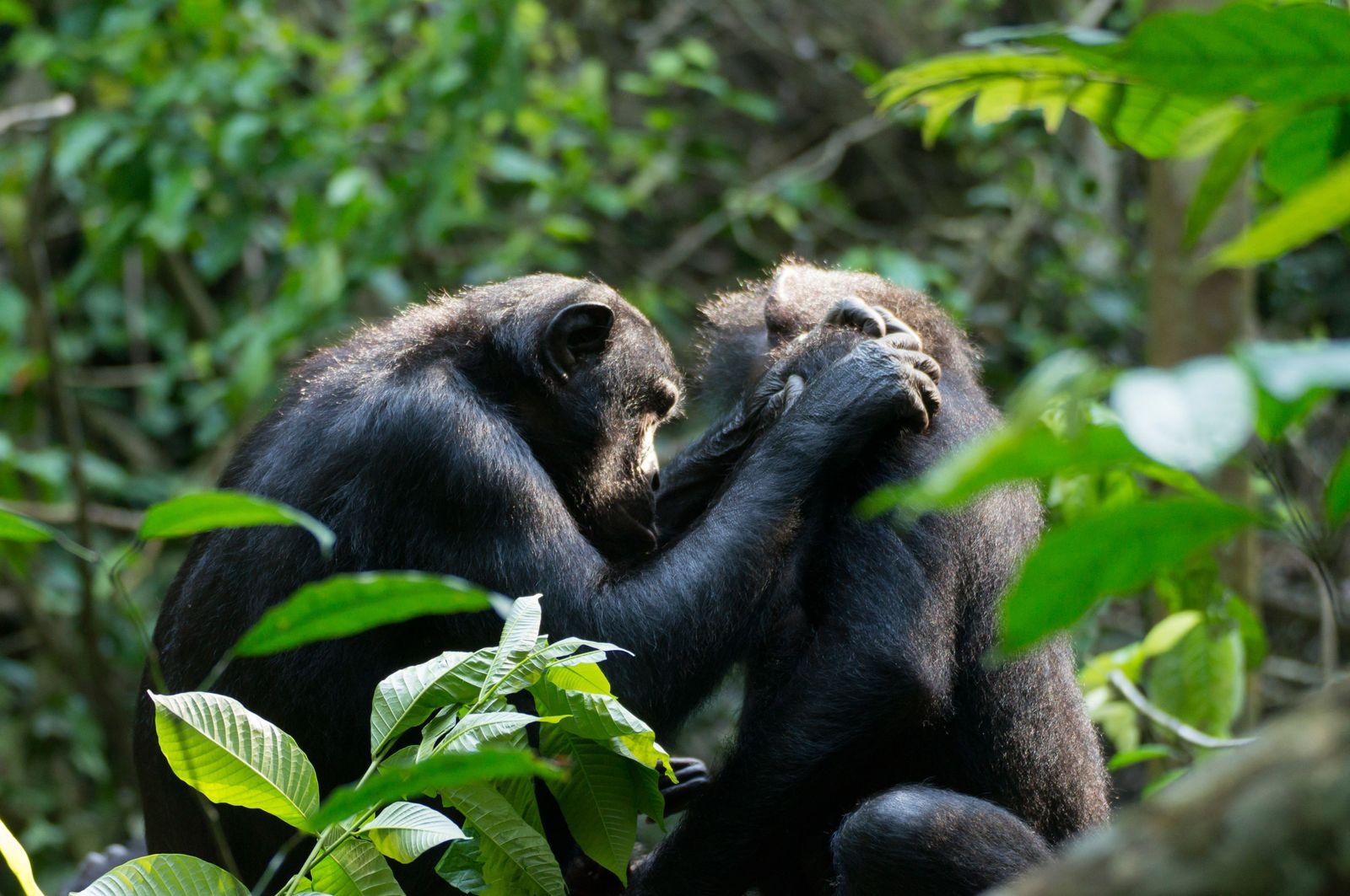 EINMALIGE VERWENDUNG Weitsichtigkeit/ Bonobos