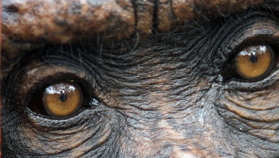 Kein Patent auf Leben: Tierschützer protestieren gegen Versuche mit Schimpansen